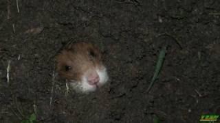 Хомяк обыкновенный(Ein gewöhnlicher Hamster)