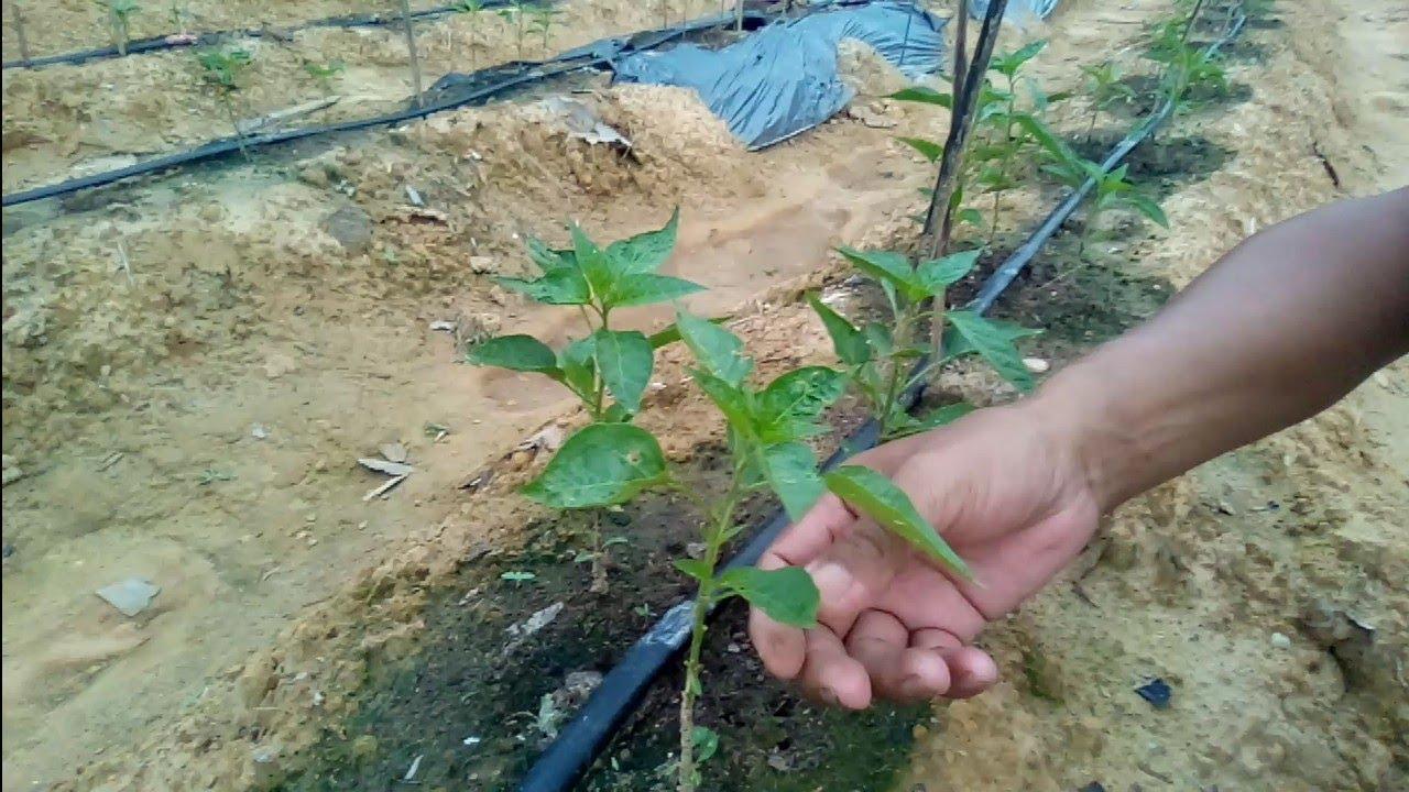 #ทำสวน, ปลูกพริก, น่าจะช่วยลดโรคและแมลงได้ระดับหนึ่ง
