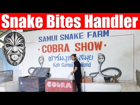 Video #3721 - Snake Accident - Snake Bites Handler At Snake Show, Koh Samui, Thailand