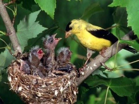 Птахи навесні  Пора гніздування