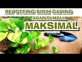 CARA REPOTTING SIRIH GADING AGAR TUMBUH MAKSIMAL | #PLANTCARE