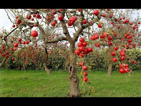 everything you need to know about apple trees  including growing, Natural flower