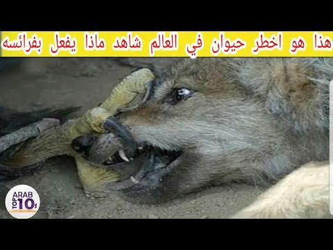 هذا هو اخطر حيوان في العالم شاهد ماذا يفعل بفرائسه