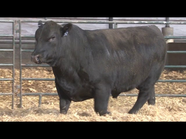 Schiefelbein Angus Farms Lot 262