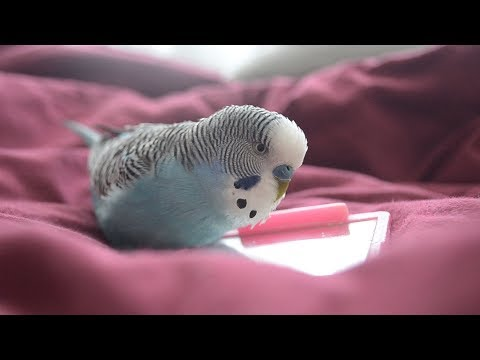 Budgie sounds  Cute & Fluffy singing