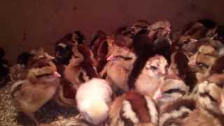 Kurczaki 13 kwietnia 2013