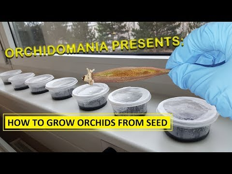 Orchidomania Presents: How to Grow Orchids from Seed