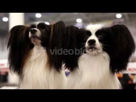 PAPILLON OR CONTINENTAL TOY SPANIEL IS A BREED OF DOG OF SPANIEL TYPE N  LBWBJKL
