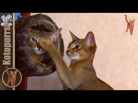 Thumbnail for Cat Video Abyssinian Cats Playing on Cat Tree