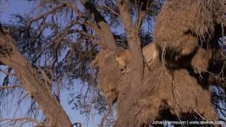Lion steals leopard