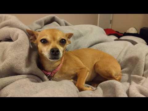 🦊 cutest chihuahua ever... Nacho!
