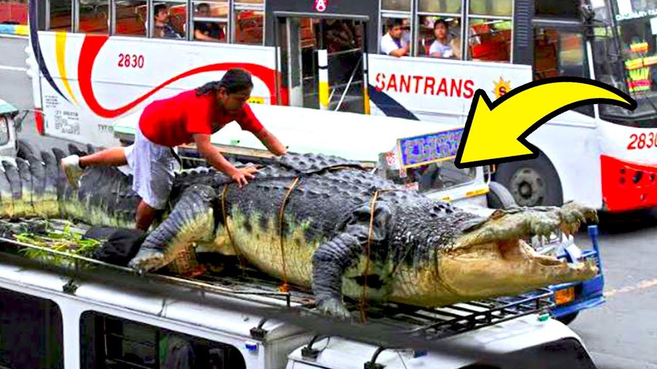هذا هو أضخم وأقدم تمساح في العالم، يبلغ من العمر 110 عام !!