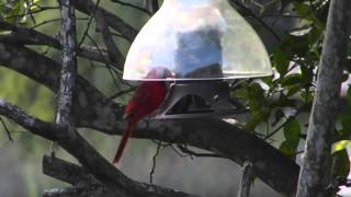 Cardinal Pair/squirrel Proof Feeder