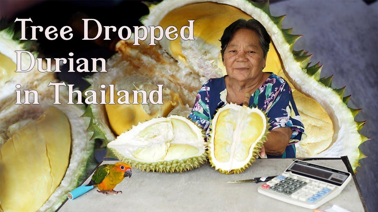 Thailand Tree Dropped Durian Gold Mine in Chanthaburi