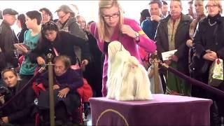 Westminster Show 2014 - Shih Tzu