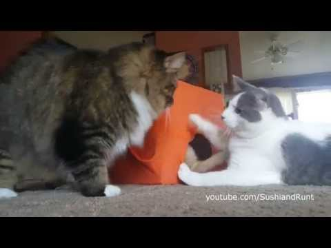 Cat Pranks Kitten