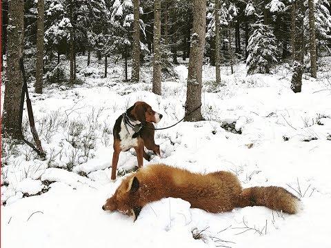 Rävjakt med Stövare och Terrier på Härkila