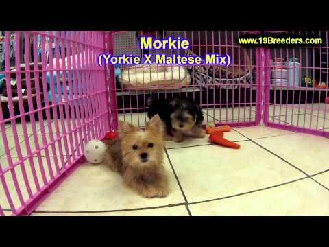 Teddy Bear, Puppies For Sale, In, Bellevue, Washington, WA, Yakima, Kitsap, Thurston, Clark, Spokane from YouTube · Duration:  47 seconds