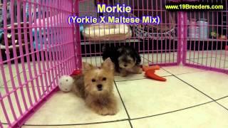 Morkie, Puppies For Sale, In, Kent, Washington, WA, Bainbridge Island, Mercer Island, Maple Valley,