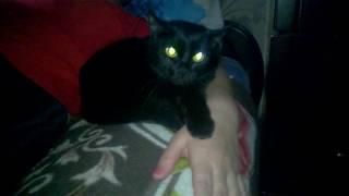 Кошка не подпускает врача к хозяйке