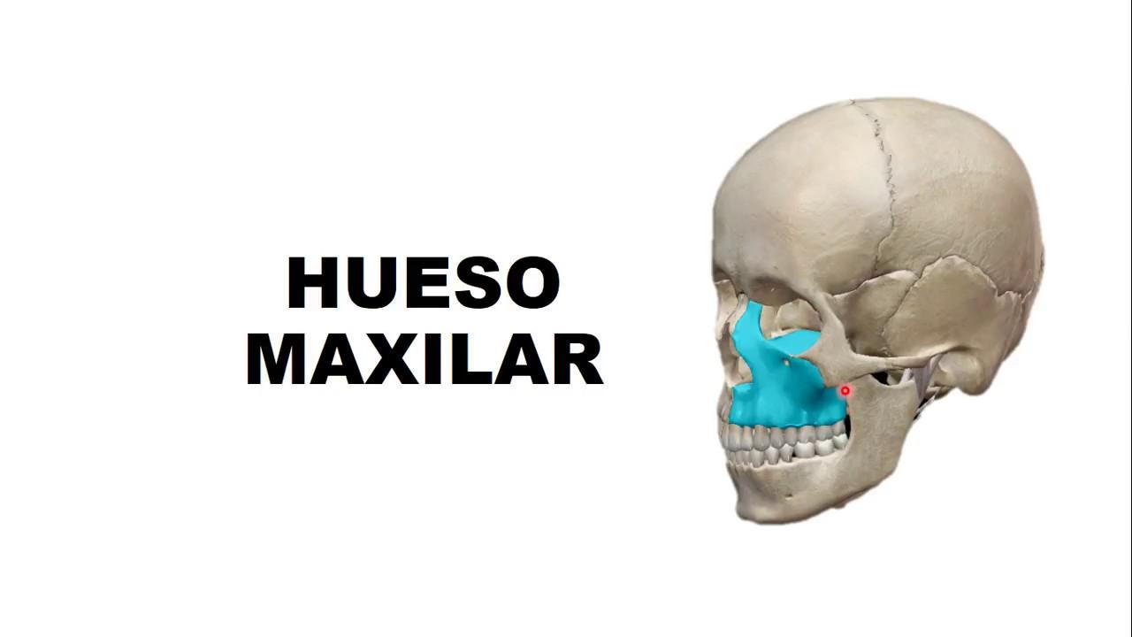 Hueso Maxilar - Anatomía - YouTube