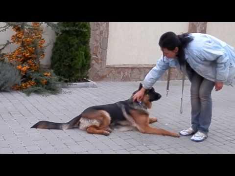 Собака Овчарка и щенки Овчарки пса фото и цены