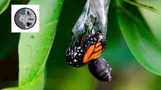 The life of Monarch Butterfly