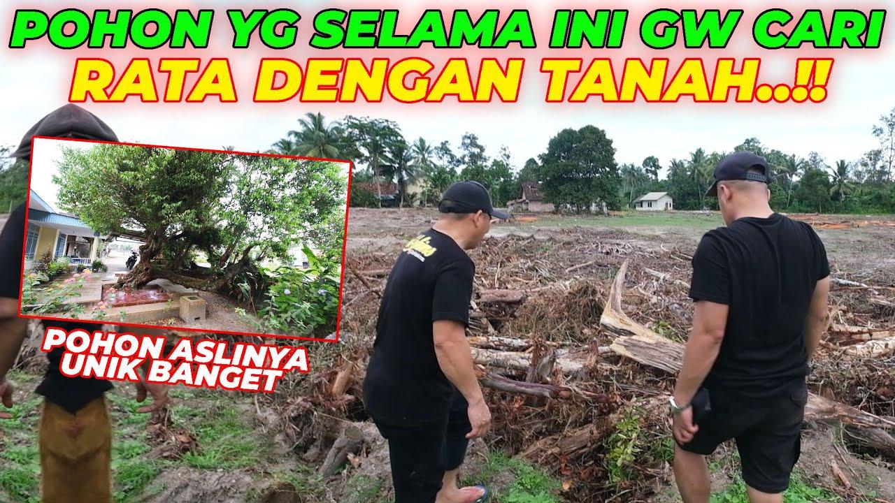 DATANG JAUH2 KE BANGKA POHON UNIK INI RATA DENGAN TANAH..!!