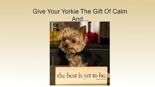 Separation Anxiety Yorkies | 4 Steps Helping You Deal With Your Yorkshire Terrier Abandonment Fear