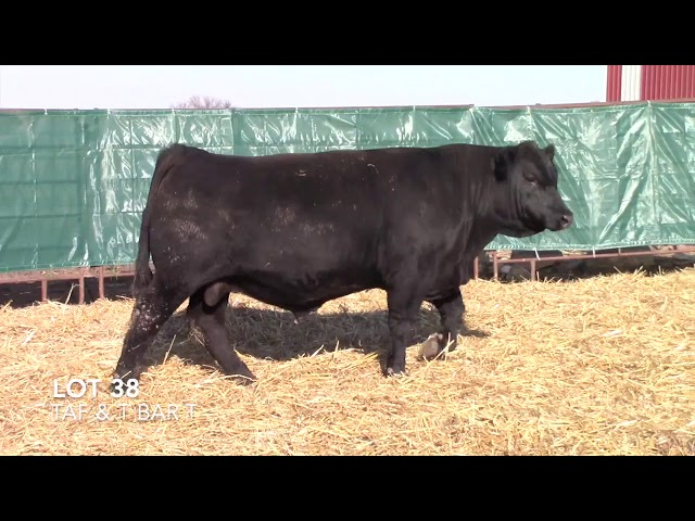 T Bar T and Taliaferro Angus Lot 38