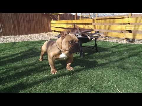 Colorado springs bullies pups
