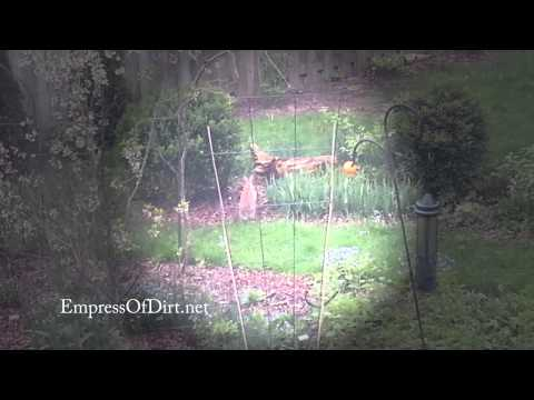 Wild rabbits playig leap frog in garden