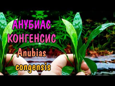 АНУБИАС КОНГЕНСИС ( Anubias congensis )