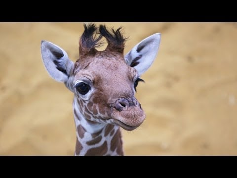 Thumbnail: Meet our beautiful baby giraffe!