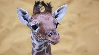 Meet our beautiful baby giraffe! thumbnail