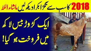 Most Expensive Goat Of Eid Ul Adha 2018 Worth 80 Thousand US Dollars Sold In India