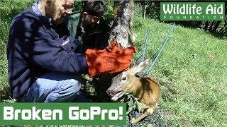 Entangled deer breaks GoPro!