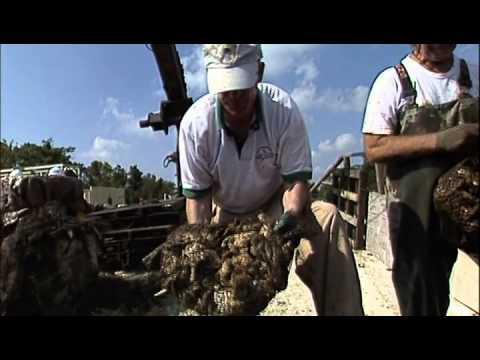 Restoring Oyster Reefs in Chesapeake Bay: Sea Grant Documentary