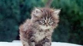 Comment brosser mon chat persan ? Tigris - YouTube