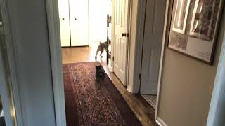 Welsh Terriers chasing each other // welsh terrier puppy and adult