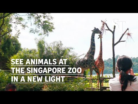 See animals at the Singapore Zoo in a new light thumbnail