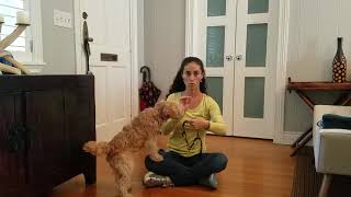 How to train your dog to love their harness, Lakeland Terrier