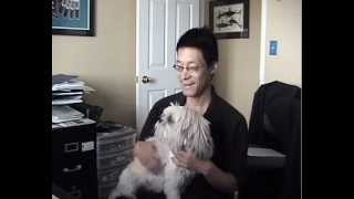 Lhasa Apso Small Breed Dogs Need Lots Of Affection