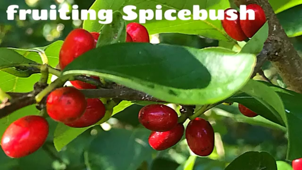 Identify Spicebush aroma, berries, seeds - a forest food that fruits in  early-September