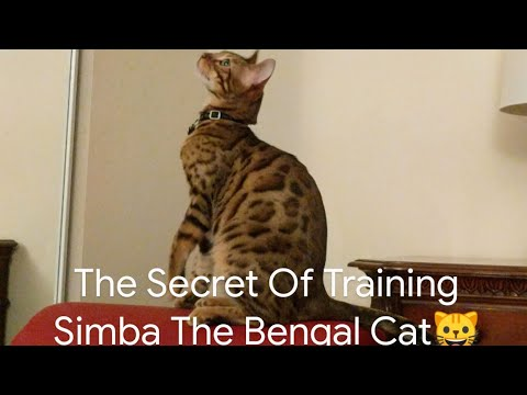 How You Train Your Bengal Cat Some Tricks!