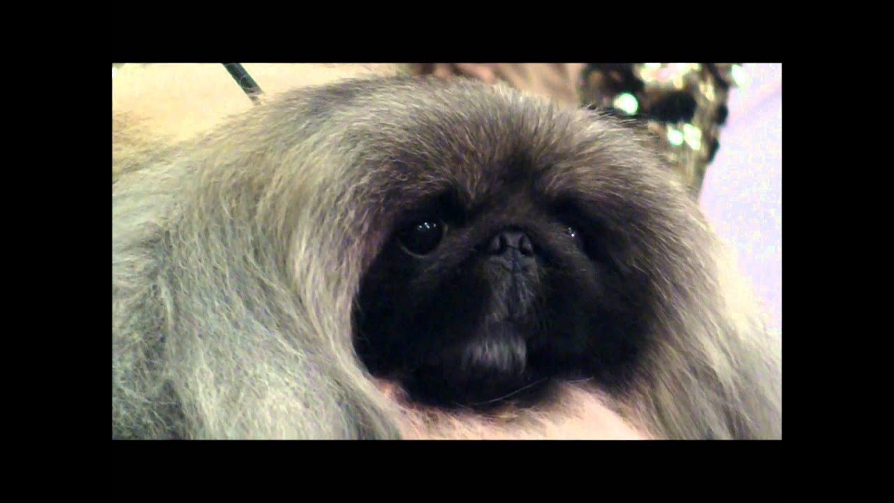 Pekingese Wins Best in Show at the 136th Westminster Kennel Club Dog Show
