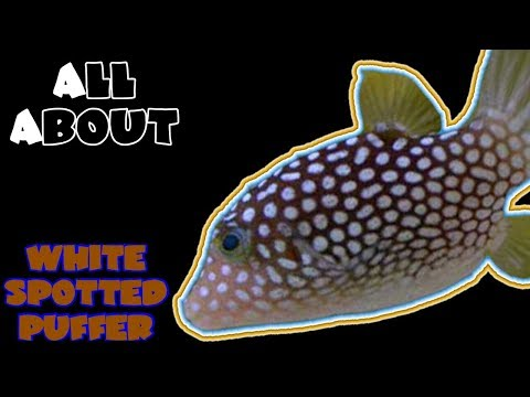 All About The White Spotted Pufferfish