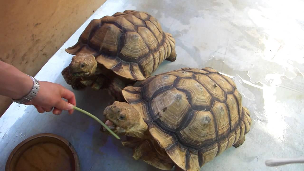 Super Cute Turtles Eating Things Youtube