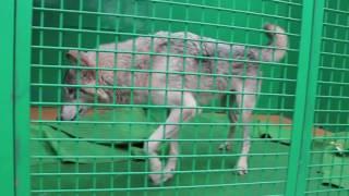 タイリクオオカミ「マッハ」