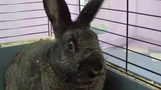 Кролик помесь